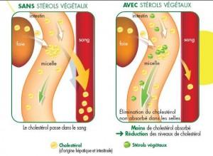 Effets des stérols végétaux sur l'absorption intestinale du cholestérol