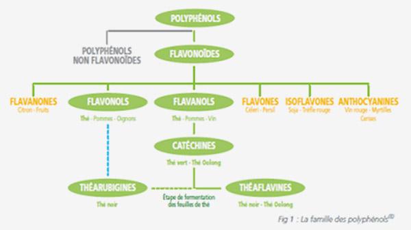 Place des flavonoïdes dans la famille des Polyphénols